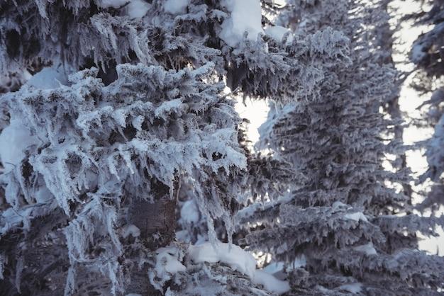 Pinos cubiertos de nieve en la montaña alp