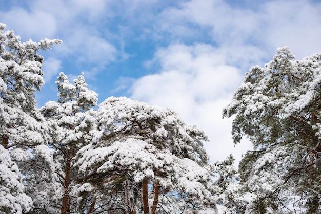 Pinos cubiertos de nieve