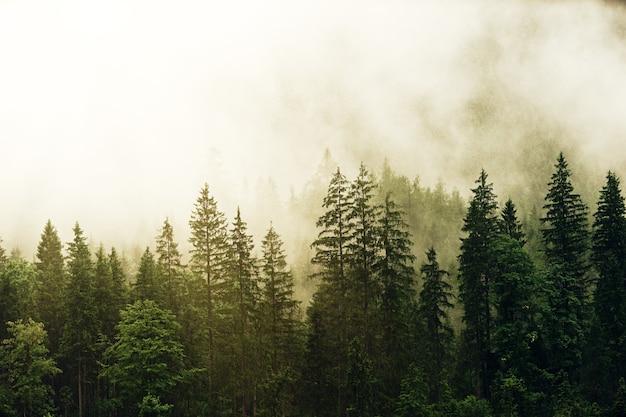 Pinos verdes cubiertos de niebla