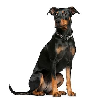 Pinscher alemán, 2 años. retrato de perro aislado