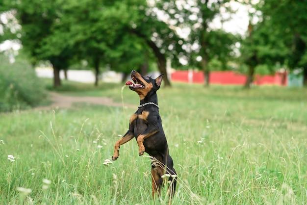 Pinscher miniatura jugando en el parque
