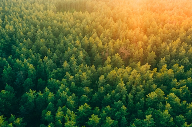 Pintoresco hermoso bosque de pinos al atardecer desde una altura.