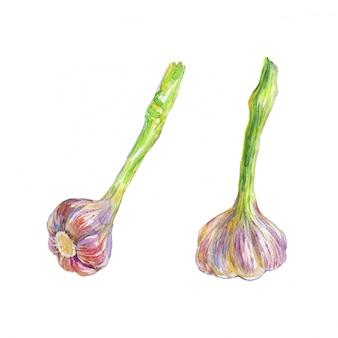 Pintura acuarela ajo aislado. dibujado a mano ilustración vegetal