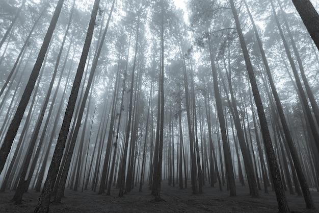 Pinus mugo - también se conoce como pino rastrero, pino de montaña enano, pino mugo