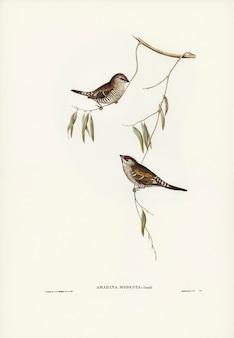 Pinzón de color liso (amadina modesta) ilustrado por elizabeth gould