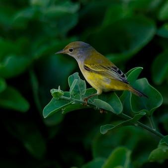 Pinzón posado en una rama, isla santa cruz, islas galápagos, ecuador