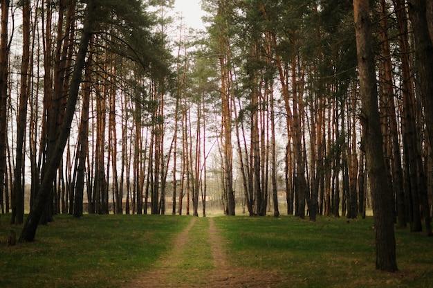 Pista en un hermoso bosque de pinos de primavera. tiempo de paz afuera. ambiente limpio