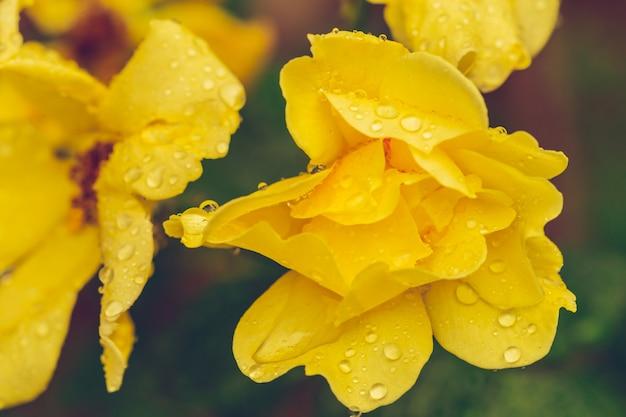Pistilos flor amarilla flor con gotas de lluvia de cerca