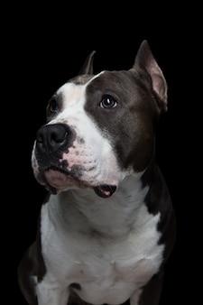 Pit bull terrier americano en un negro
