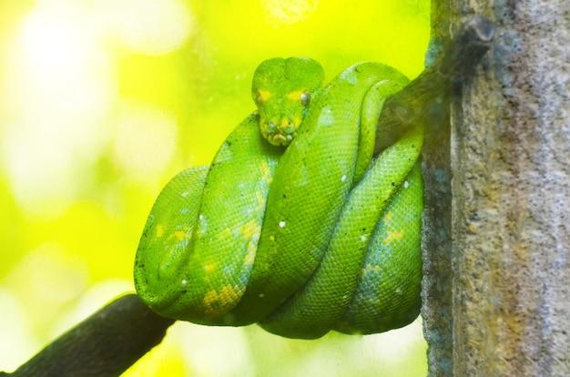 Pitón verde en las ramas de los árboles en la selva.