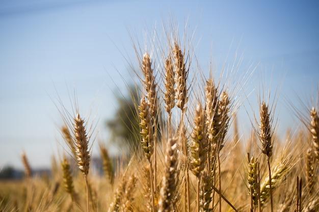 Plano detalle de campo de trigo