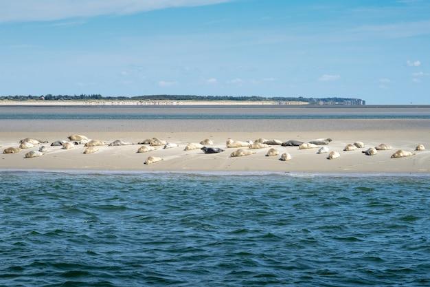 Plano general de hermosas focas salvajes hermosas en una manada descansando en la costa de una playa de arena