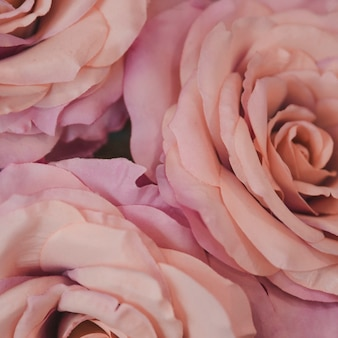 Plano macro de rosas tiernas rosas