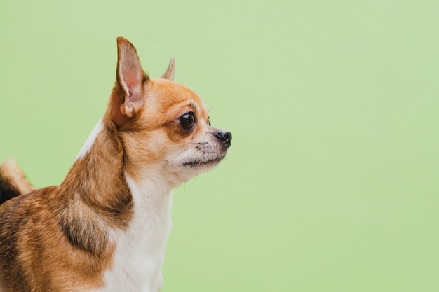 Plano medio del perro chihuahua sobre fondo verde