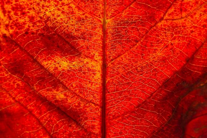 Plano plano laico de hoja de otoño
