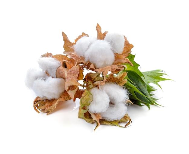 Planta de algodón aislado sobre fondo blanco.