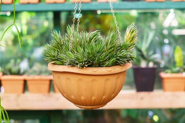 Planta de aloe en maceta handig en invernadero.