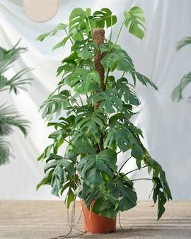 Planta araceae con fondo blanco.