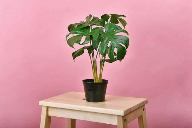 Planta artificial, philodendron monstera plantada en maceta negra sobre pared rosa, árbol tropical de interior para decoración del hogar y la oficina.