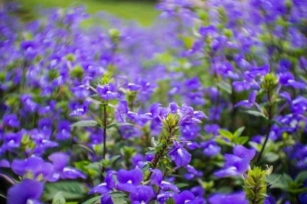Planta azul de las flores de hawaii para el fondo.