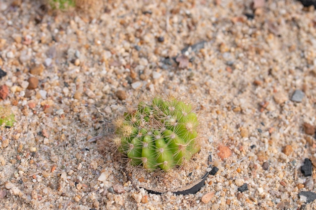 Planta de cactus en la arena.