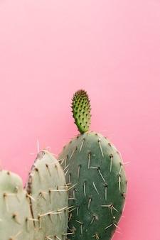 Planta de cactus con espinas contra la pared rosa