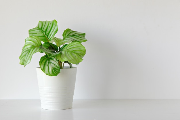 Planta de calathea interior sobre fondo blanco.