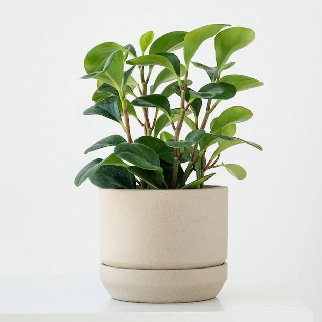 Planta de cara de pimiento en una olla pequeña