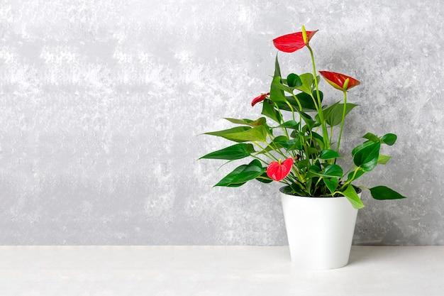Planta de casa anthurium en maceta blanca
