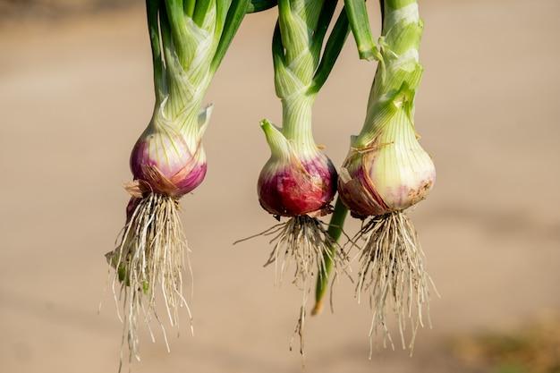 Planta cebollas de primavera que crecen en temporada. en las zonas fértiles