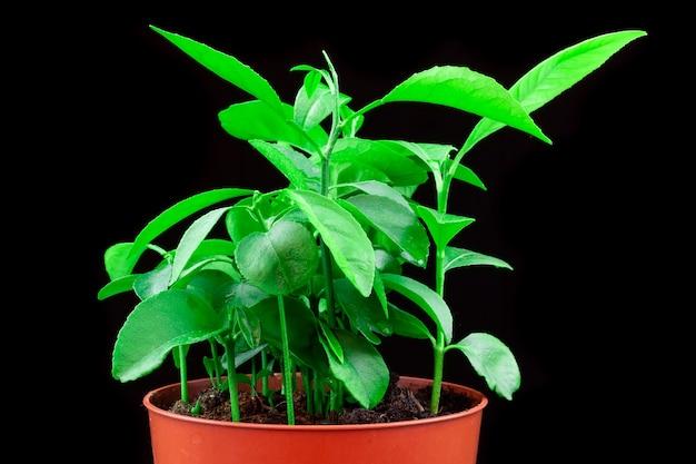 Planta de cítricos fondo negro