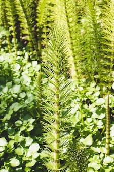 Planta de cola de caballo en el bosque