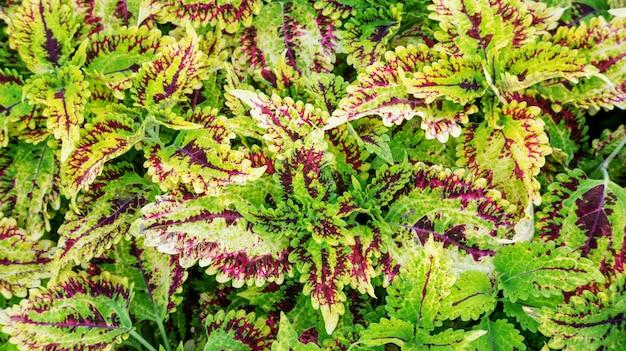 Planta colorida del coleo en un jardín.