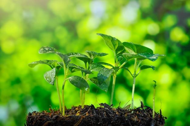 Planta en crecimiento, plántulas que crecen en la luz de la mañana