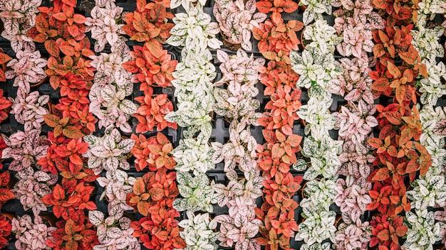 Planta cultivada con hojas coloridas en maceta.
