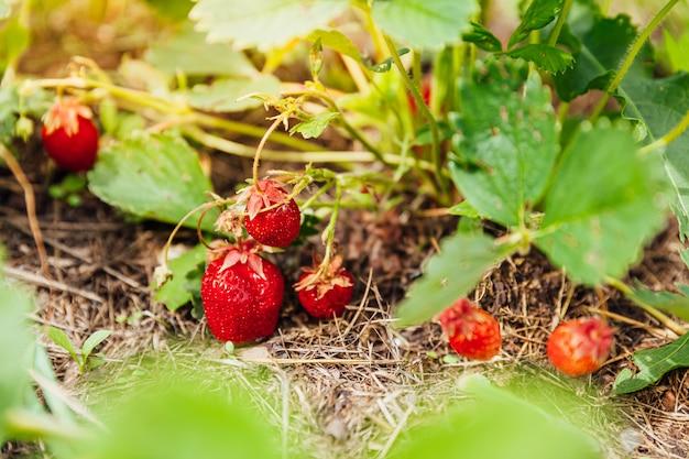 Planta de cultivo industrial de fresas. arbusto con fresa de frutos rojos maduros en la cama del jardín de verano.