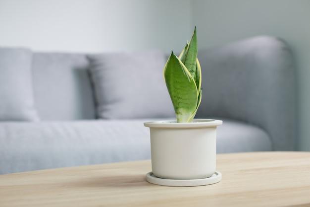 Planta decorativa sansevieria en mesa de madera en la sala de estar. sansevieria trifasciata prain en maceta de cerámica gris.