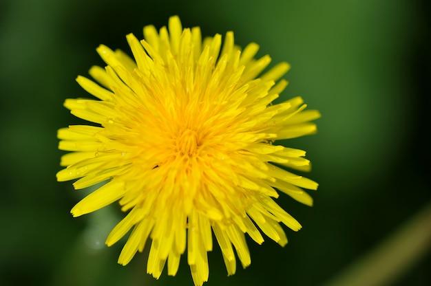 Planta de diente de león amarillo