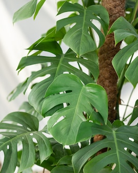 Planta de filodendro mirada cercana