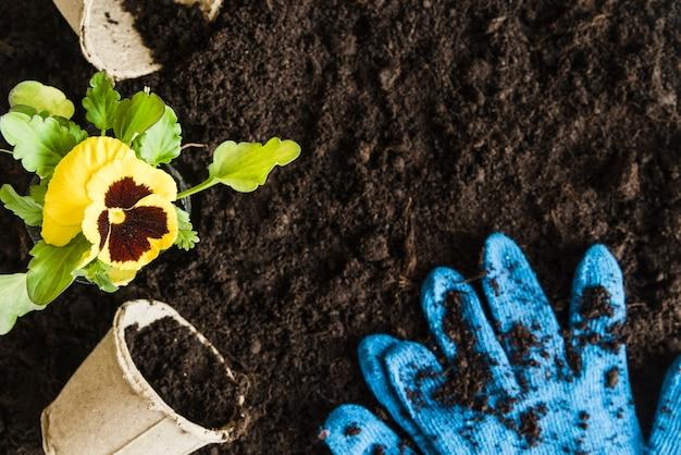 Planta de flor de pensamiento amarillo con maceta de turba y guantes azules de jardinería en suelo fértil
