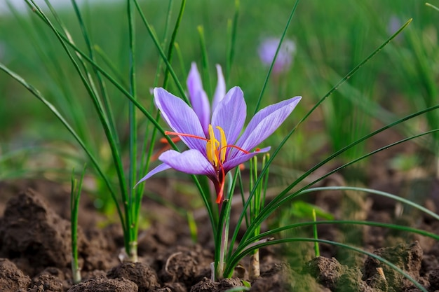 Planta floreciente del azafrán. cosechar flores de azafrán para obtener la especia más cara.