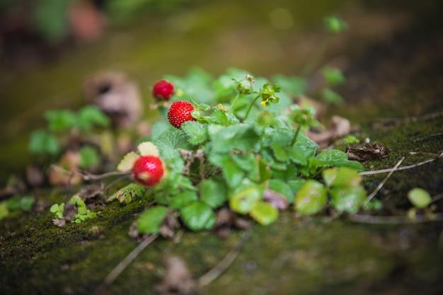 Planta de fresa silvestre con hojas verdes y frutos rojos.