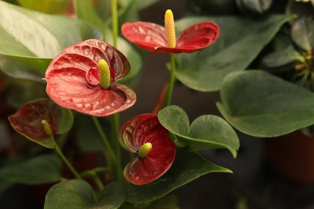 Planta de habitación andreanum flores rojas foco seleccionado resplandor del sol