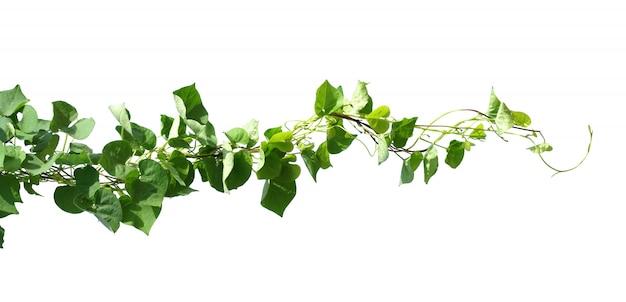 Planta de hiedra aislada en blanco