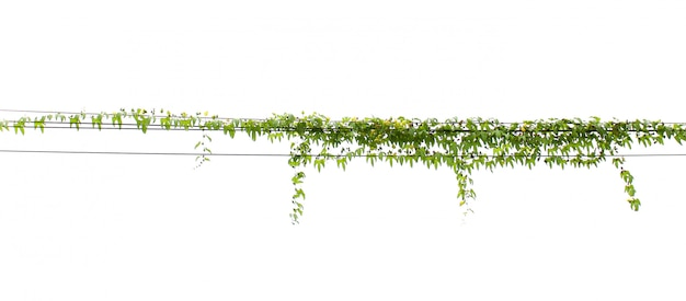 Planta de hiedra colgando sobre fondo blanco aislante eléctrico de poste