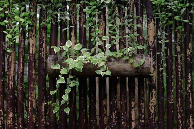 Planta de hiedra decorar en bambú en el parque