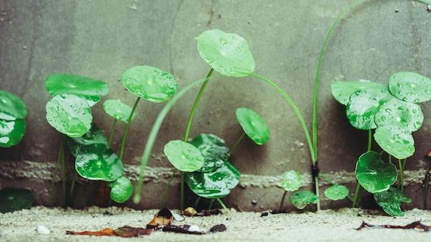 Planta de hierbas centella asiatica pennywort
