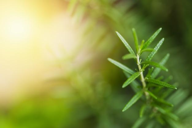 Planta de hierbas de primer plano de romero con desenfoque de fondo del espacio