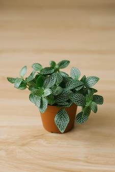 Planta de interior fittonia verde oscuro con rayas blancas en una maceta marrón sobre un fondo beige con tablas