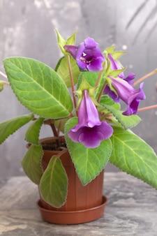 Planta de interior gloxinia en una maceta en una superficie borrosa gris brillante. concierto de primavera
